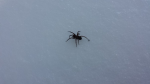 Spider found on my snowshoe adventure